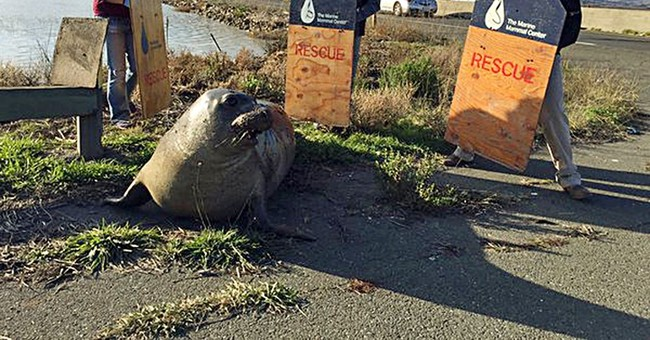 Elephant seal determined to cross California freeway sedated