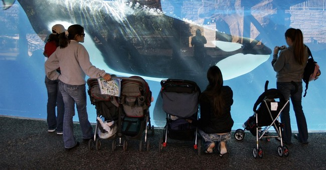 SeaWorld suing California over ban on orca breeding