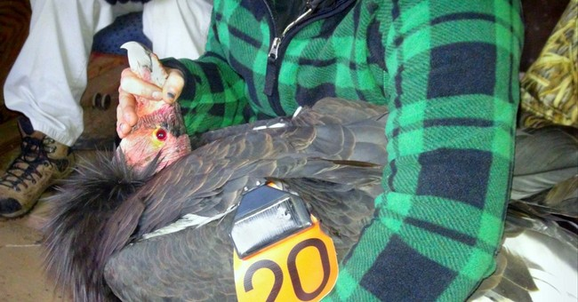California condor that helped save species returns to wild