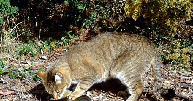 Study: Cats, foxes behind Australia's alarming extinctions