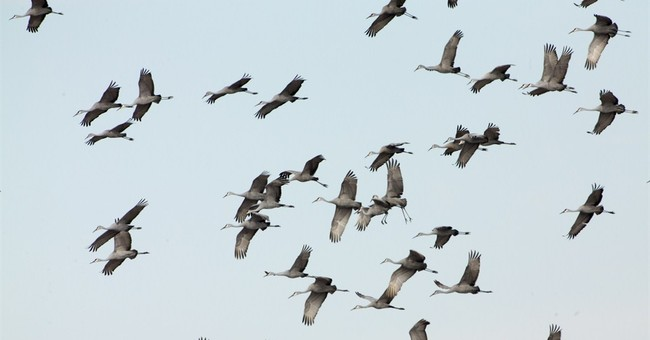 AP PHOTOS: Sandhill cranes make Kentucky rest stop
