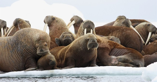Oil drilling banned in Arctic area that attracts walrus