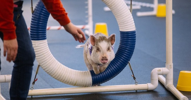 Snort among barks: Amy the pig excels in dog agility class