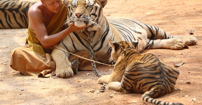 Wildlife officials: Famed Thai temple doesn't abuse tigers