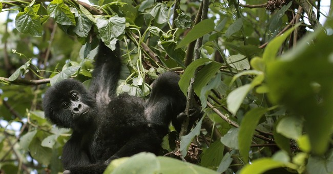 """Virunga,"" film on besieged African park, bids for Oscar"