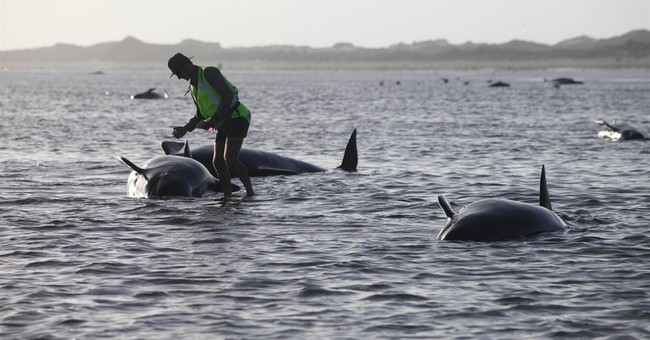 140 whales die after getting stranded on New Zealand beach