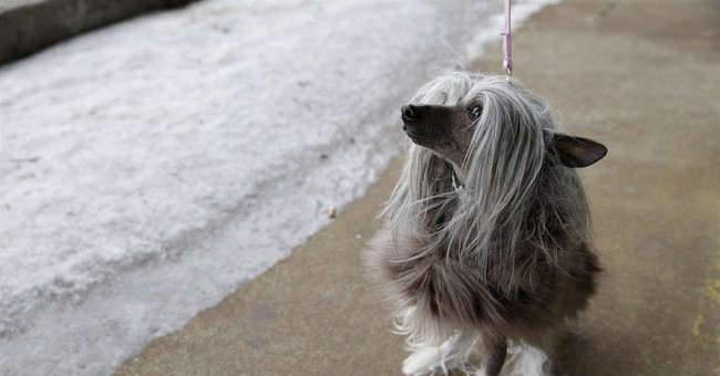 With Westminster in big chill, dogs and dog owners bundle up