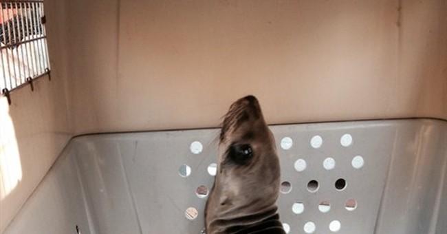 More sick sea lion pups washing up on California beaches