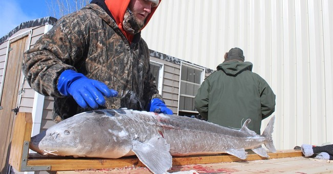 Big year for sturgeon spearing in eastern Wisconsin lakes