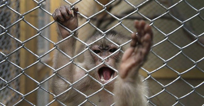 Lions rescued from circuses in Peru get their teeth fixed