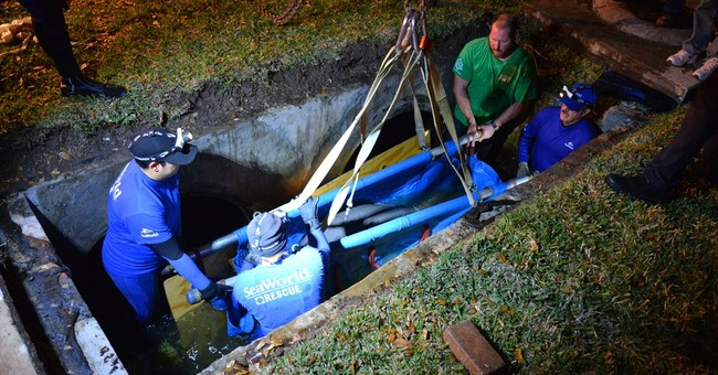 Rescuers in Florida free 19 manatees stuck in drain