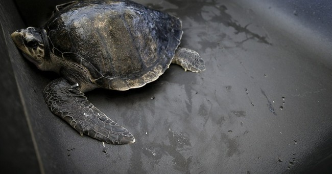Rescued sea turtle flown from Oregon to California