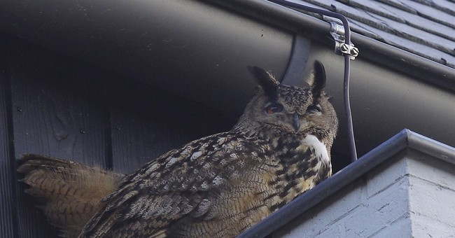 Aggressive owl sinks its talons into residents of Dutch town