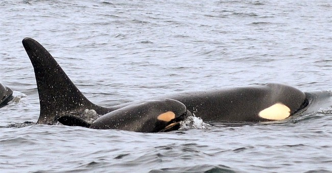 Feds spot third baby orca born recently to imperiled pods