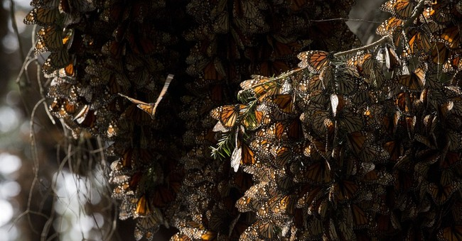 Crop herbicides play a role in shrinking monarch population