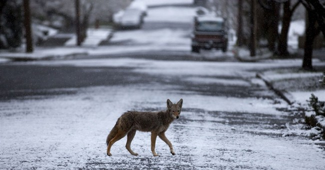 Upscale NY suburb embroiled in a wily debate over coyotes