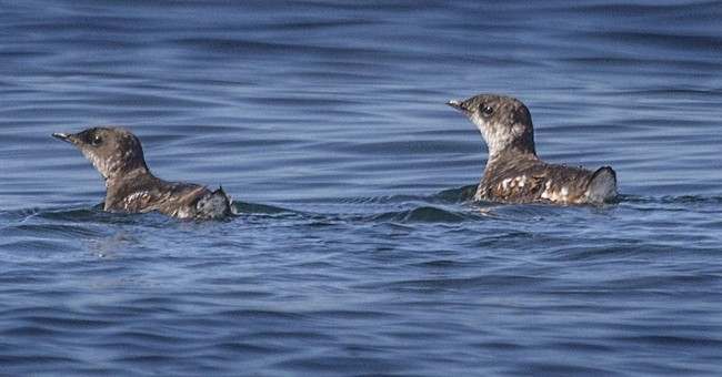 Appeals court upholds protection for threatened seabird