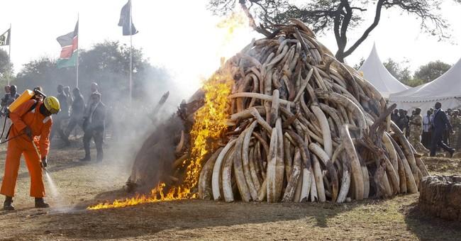 Kenya destroys 15 tons of ivory taken from poachers