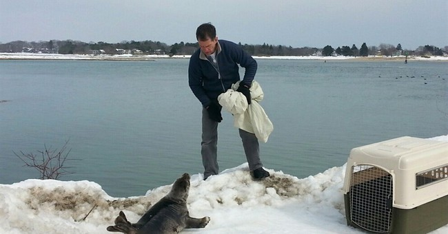 Seal stranded on Maine snowbank needs some help getting home