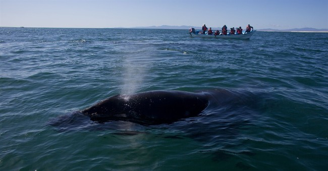 Whale slams boat in Mexico, killing Canadian tourist