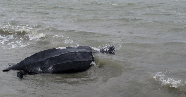 Rare 475-pound leatherback turtle released in SC