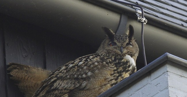Falconer catches aggressive owl that terrorized Dutch town