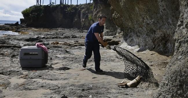 Starving sea lion pups stranding on California beaches