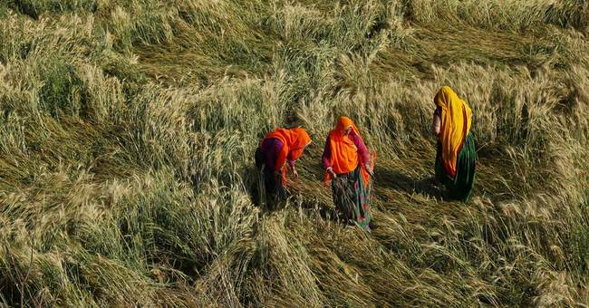 Image of Asia: In the wheat fields after too much rain