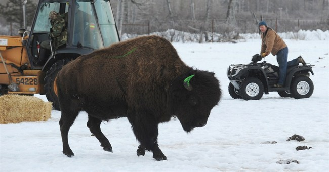 Alaska prepares for wood bison return after a century