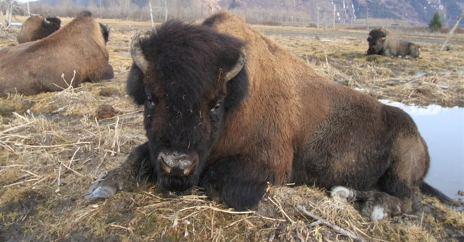 First wood bison head for release in southwest Alaska