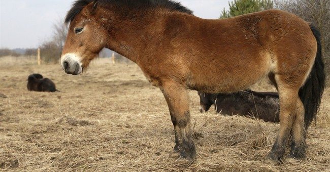 Czechs deploy wild horses from Britain to save biodiversity