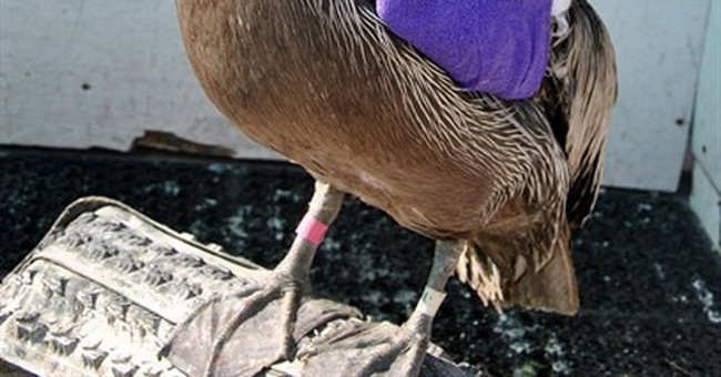 Reward offered in Southern California pelican shooting
