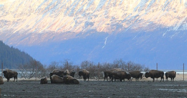 Wood bison make it to Alaska village; April release planned