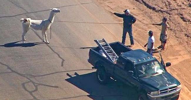 'Llama drama' owners say USDA draws line against appearances