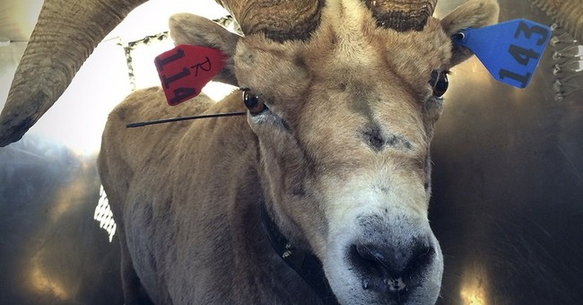 Endangered bighorn sheep moved to Yosemite, Sequoia parks