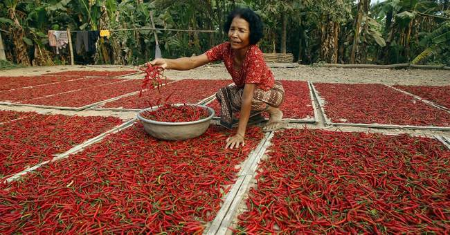 Image of Asia: Drying chili peppers under the Cambodian sun