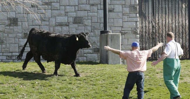 Bold steer's escape foiled by university's rodeo team member