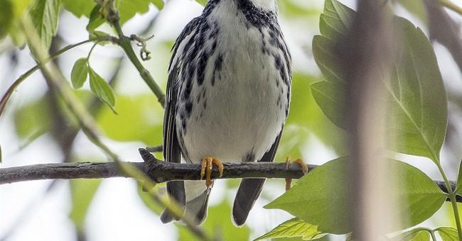 Tiny songbird tracked across 1,700 miles of open ocean