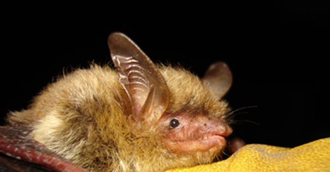 US gives threatened status to northern long-eared bat