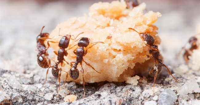 Study: Some ants have more taste for human food than others