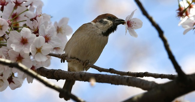 Image of Asia: Cherry blossoms signal springtime in Tokyo