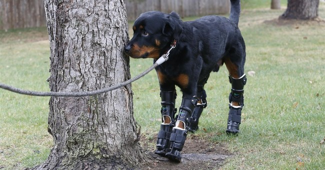 Colorado dog gets prosthetics for all 4 legs