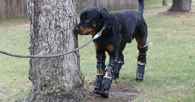 Colorado dog gets prosthetics for all 4 legs