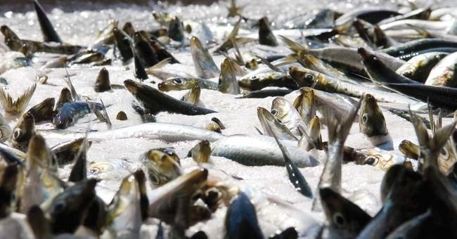 Feds likely to shut down sardine fishing on West Coast