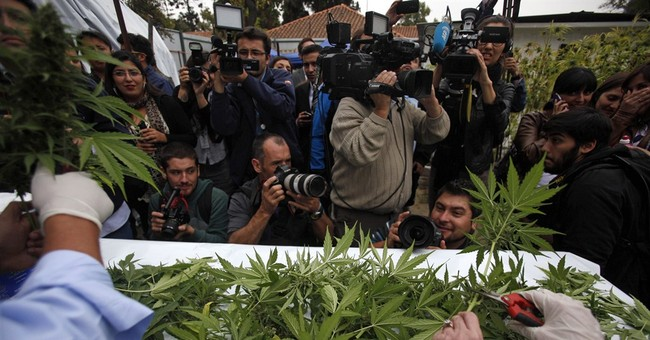 Marijuana harvested for medical use in Chile