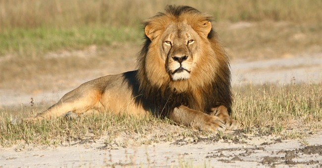 NYT Publishes Op-Ed by Zimbabwean Defending Cecil the Lion's Hunter