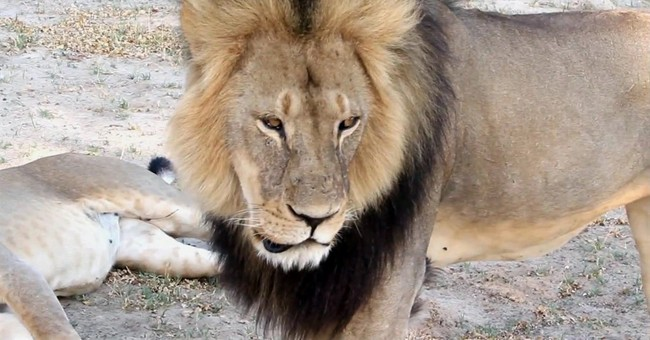 No Friend to Lions