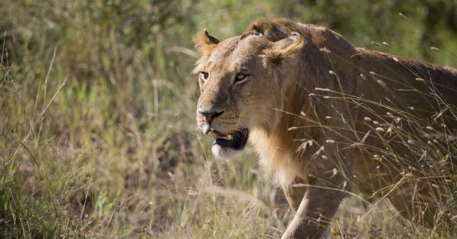 """The Cecil Effect? Zimbabwean Park Ranchers Warn They May Have To Shoot 200 """"Surplus"""" Lions"""