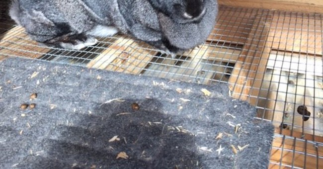 Like magic, large rabbit nabbed from Utah farm reappears