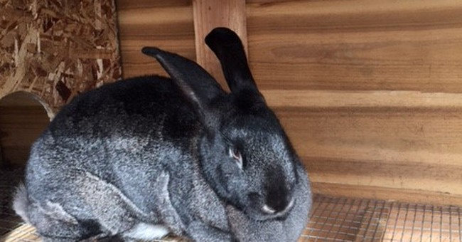 Like magic, large rabbit nabbed from Utah farm reappears